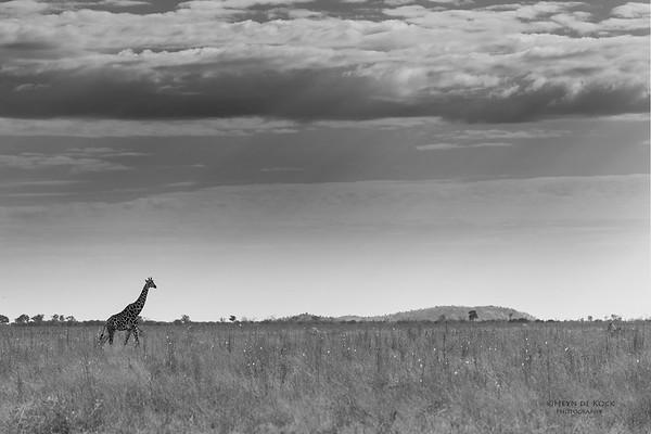 Southern Giraffe, b&wSavuti, Chobe NP, Botswana, May 2017-1