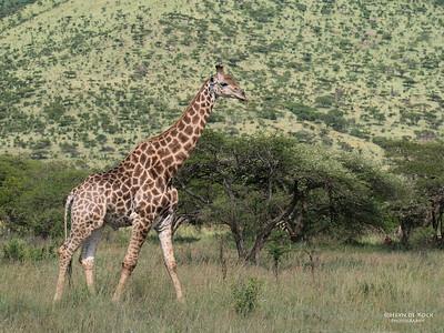 Giraffe, Hluhluwe-Imfolozi NP, KZN, SA, Jan 2014-1