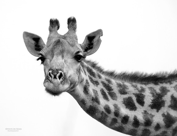 Giraffe, Willem Pretorius NR, FS, SA, Dec 2014-1bw