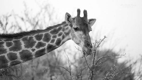 Giraffe, Pilansberg, SA, Sept 2016-1
