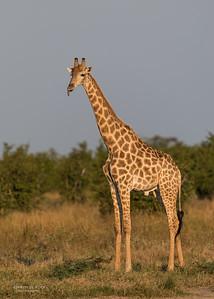 Southern Giraffe, Savuti, Chobe NP, Botswana, May 2017-3