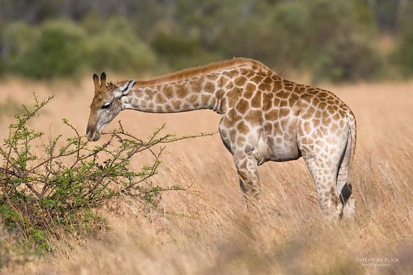 Giraffe, Pilansberg, SA, Sept 2016