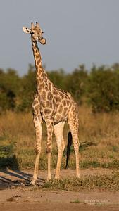 Southern Giraffe, Savuti, Chobe NP, Botswana, May 2017-4