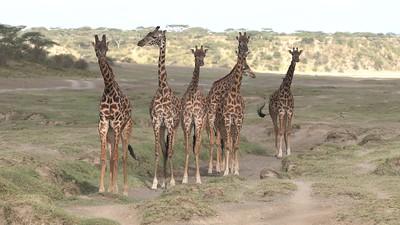 Seven Giraffes in 4K