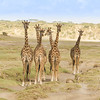 Six Giraffes on Alert