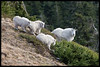 Mt Baker Mountain Goats