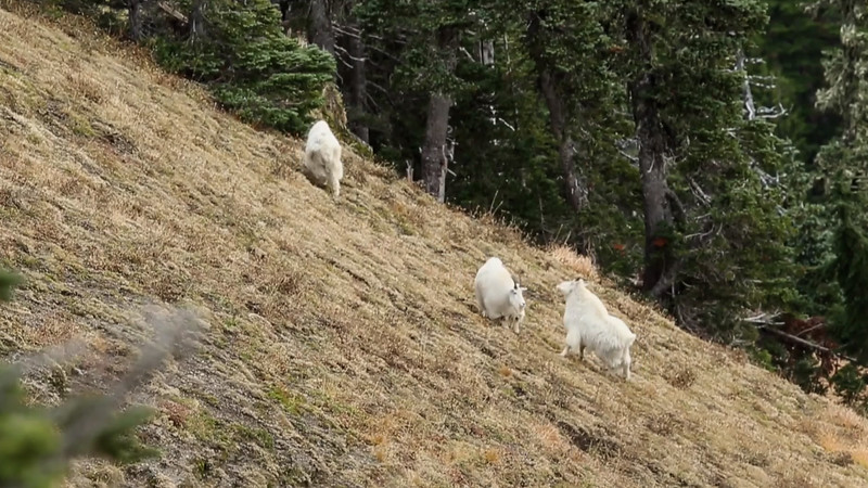 Rutting Goats
