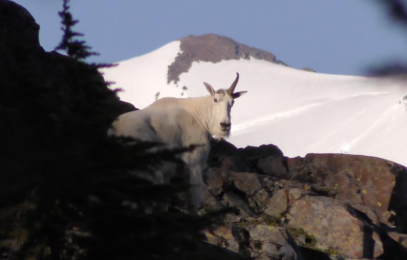 Mt Baker Mountain Goat