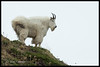 Mt Baker Mountain Goat
