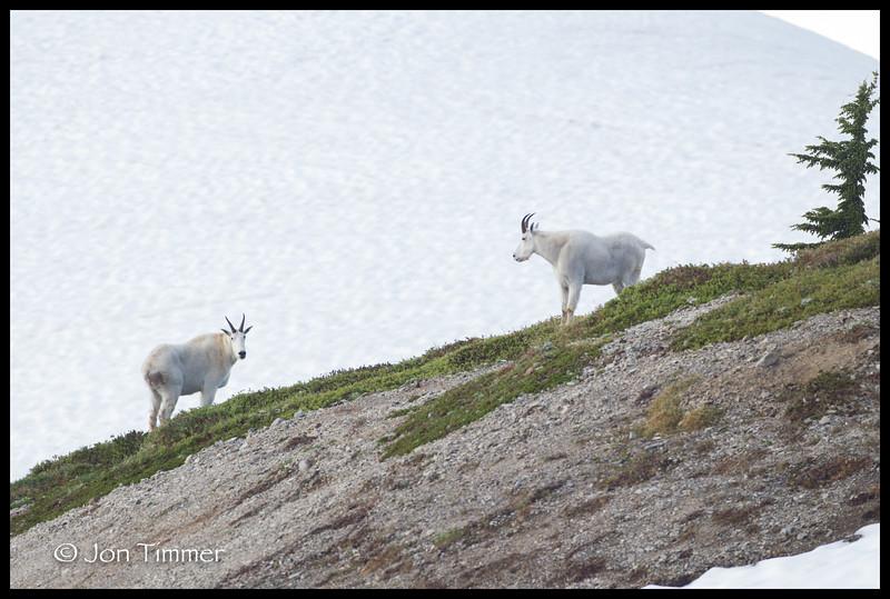 Mt Baker Mountain Goats