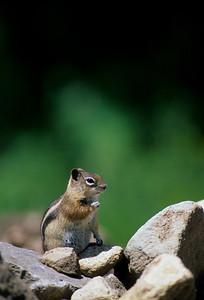 Golden-mantled Ground Squirrel-116
