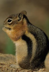 Golden-mantled Ground Squirrel-103