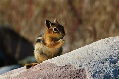 Golden-mantled Ground Squirrel-161