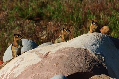 Golden-mantled Ground Squirrel-125
