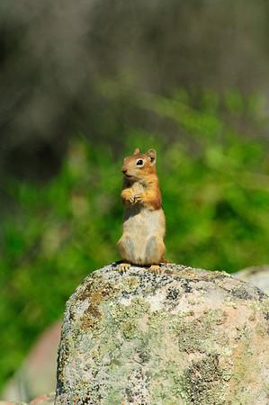 Golden-mantled Ground Squirrel-165