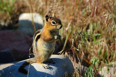 Golden-mantled Ground Squirrel-148