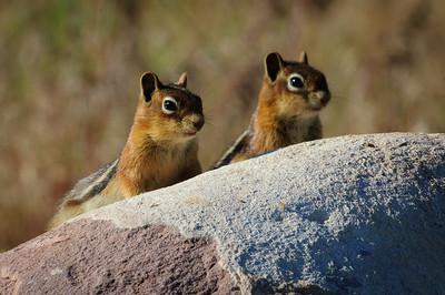 Golden-mantled Ground Squirrel-158