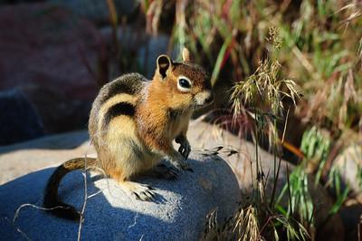Golden-mantled Ground Squirrel-144