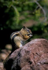 Golden-mantled Ground Squirrel-113
