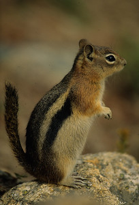 Golden-mantled Ground Squirrel-101