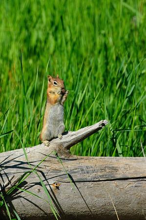 Golden-mantled Ground Squirrel-162