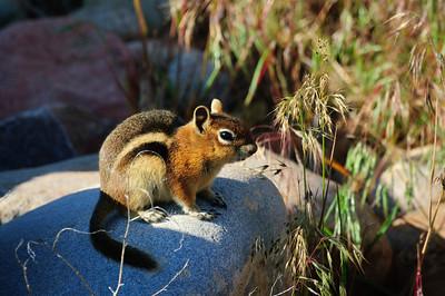 Golden-mantled Ground Squirrel-135