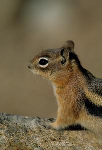 Golden-mantled Ground Squirrel-109
