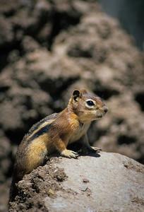 Golden-mantled Ground Squirrel-104