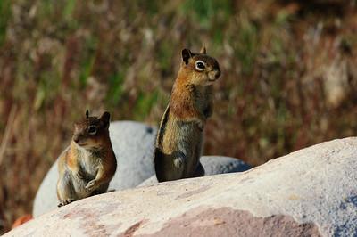 Golden-mantled Ground Squirrel-131