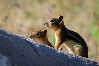 Golden-mantled Ground Squirrel-155