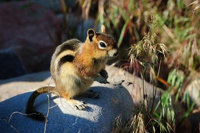 Golden-mantled Ground Squirrel-146