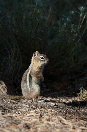 Golden-mantled Ground Squirrel-171