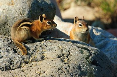 Golden-mantled Ground Squirrel-119