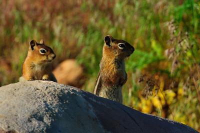 Golden-mantled Ground Squirrel-121