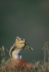 Golden-mantled Ground Squirrel-107
