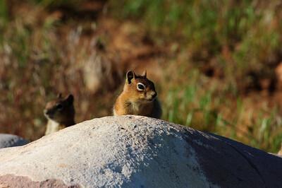 Golden-mantled Ground Squirrel-130