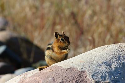 Golden-mantled Ground Squirrel-160