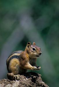 Golden-mantled Ground Squirrel-110
