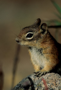 Golden-mantled Ground Squirrel-108