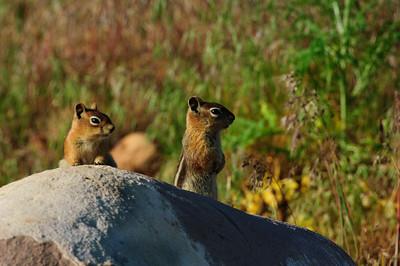Golden-mantled Ground Squirrel-122