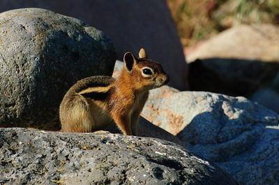 Golden-mantled Ground Squirrel-128