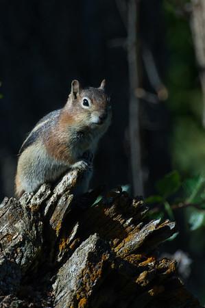 Golden-mantled Ground Squirrel-170