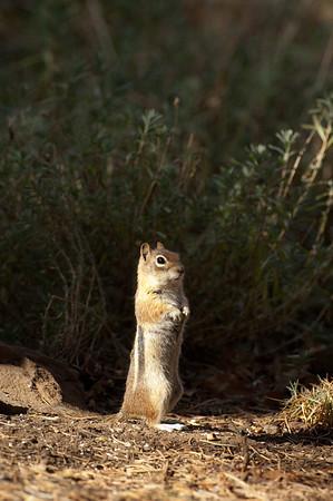 Golden-mantled Ground Squirrel-176