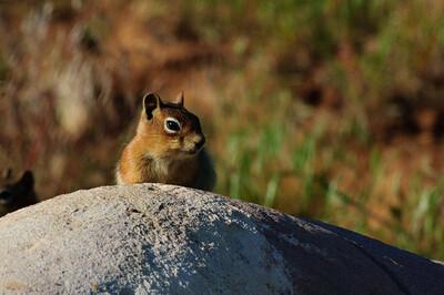 Golden-mantled Ground Squirrel-129