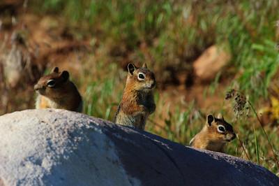 Golden-mantled Ground Squirrel-133