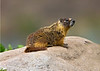Yellow-bellied marmot sunning himself on a rock