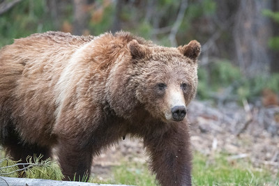 Grizzly bear 399.