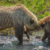 Grizzly Bear mother and cub, Haines Road, Yukon