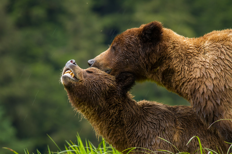 Grizzly Bears, Khutzeymateen Grizzly Bear Sanctuary, British Columbia