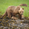 Grizzly Bear, Khutzeymateen Grizzly Bear Sanctuary, British Columbia